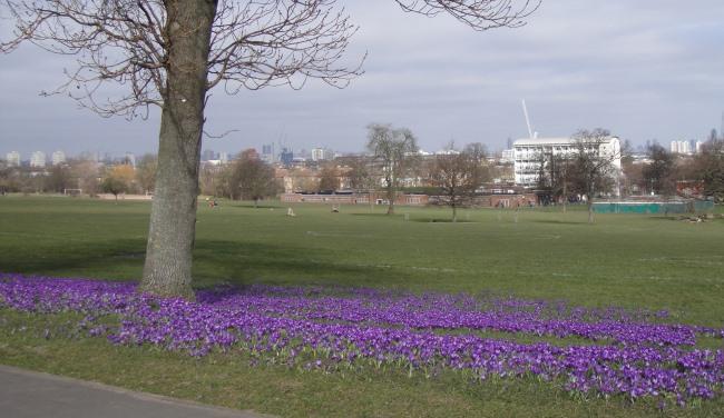 crocus bloom at brockwell park