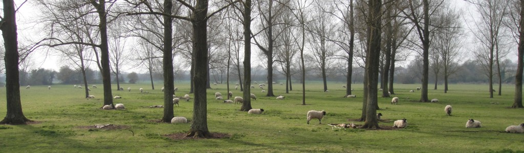 Stony Stratford Sheep