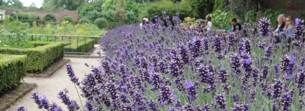 lavender plants at holland park