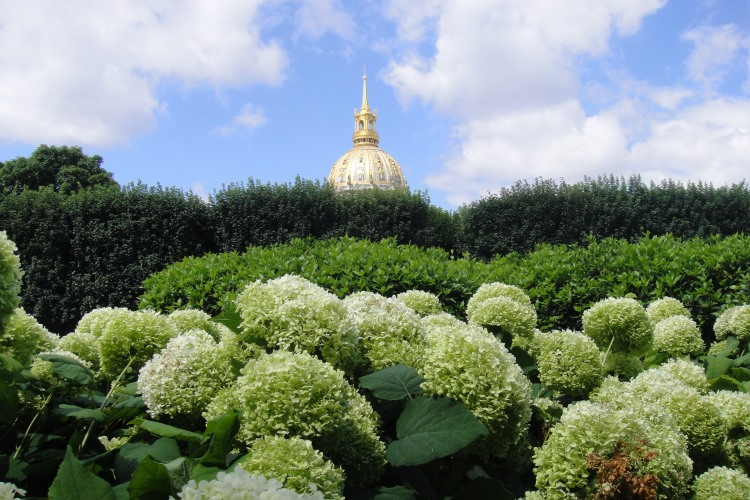white hydrangea with view of gold Dome of Les Invalides