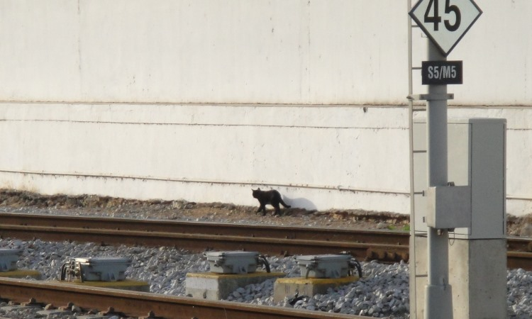 black cat walks along tracks at Faro station
